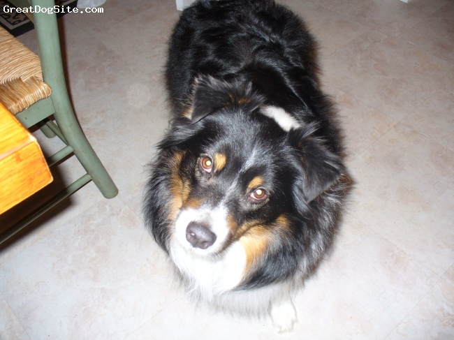Australian Shepherd, 7, black, white, and brown, she is the family dog, she is great with kids, and she is so energized!! she is a great dog!