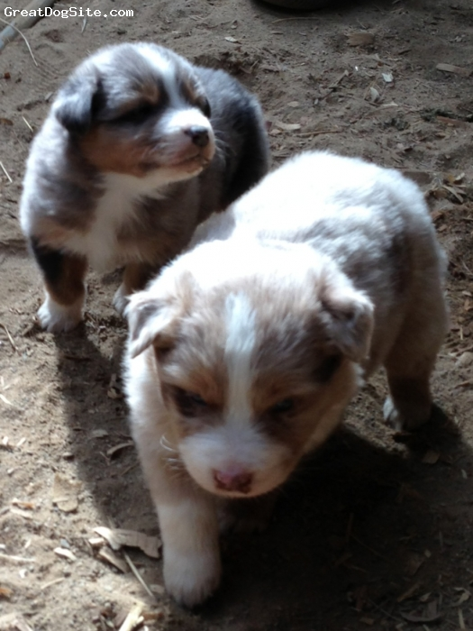 Australian Shepherd, 4 weeks, Red Merle and Blue Merle, Sweet guys