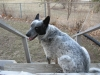 Australian Stumpy Tail Cattle Dog, 4, black and white