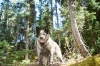 Australian Stumpy Tail Cattle Dog, 4.5, blue speckled