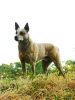 Australian Stumpy Tail Cattle Dog, 6 yrs old, Red