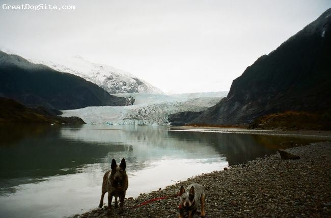 Australian Stumpy Tail Cattle Dog, 4.5, blue speckled, Ratchet and Roadie(ACD) at the Mendenhall Glacier Ak