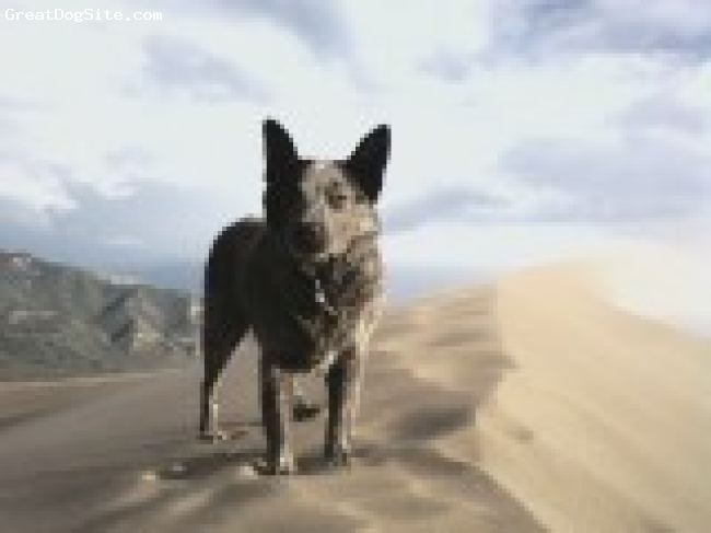 Australian Stumpy Tail Cattle Dog, 4.5, blue speckled, Rathet in the Sand Dunes National Park Co.