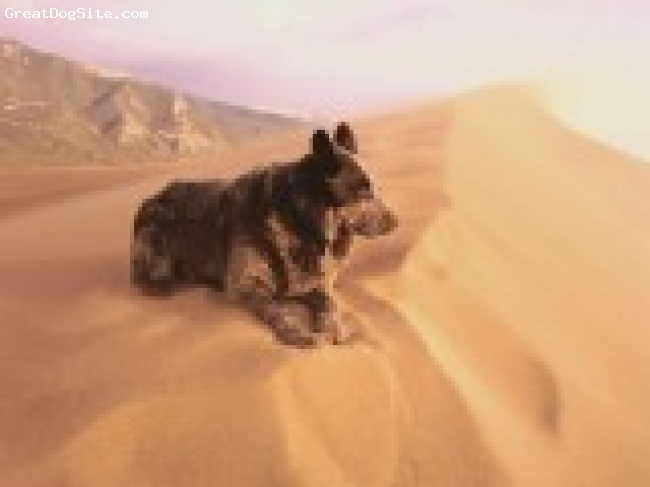 Australian Stumpy Tail Cattle Dog, 4.5, blue speckled, Ratchet in the sand dunes