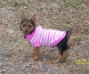 Australian Terrier, 3 months old, Blue/Tan