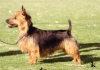 Australian Terrier, 4, Blue and Tan