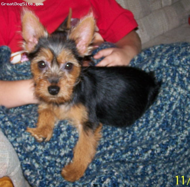 Australian Terrier, 10 weeks old in photo, Blue/tan, The picture is of Cleo at 10 weeks of age when she joined the family. She was only 4 and a half pounds and now she is 10 pounds