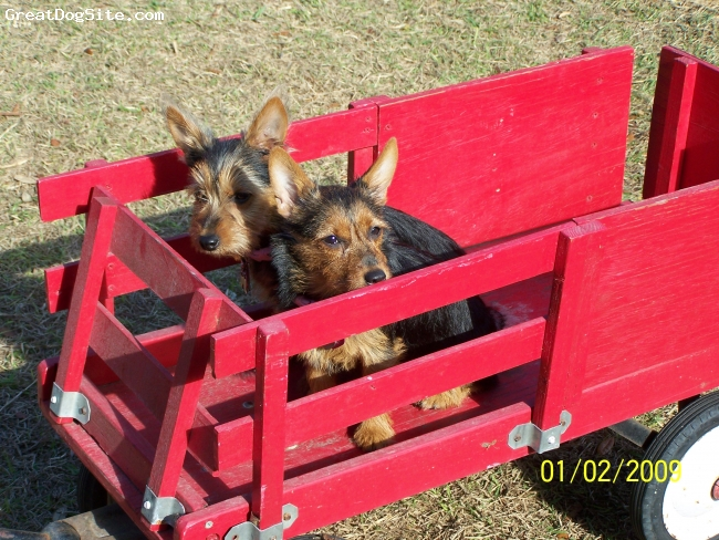 Australian Terrier, 3 months old, Blue/Tan, going for a ride