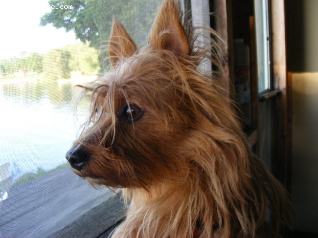 Australian Terrier, 5, red, Tilly comes to our office every day and is actually with people 24/7.  We love her and she has responded in kind