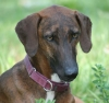 Azawakh Hound, 6 months, Red brindled