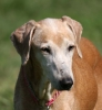 Azawakh Hound, 14 Years, Red