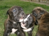 Banter Bulldogge, 6 weeks, Brindle Pups