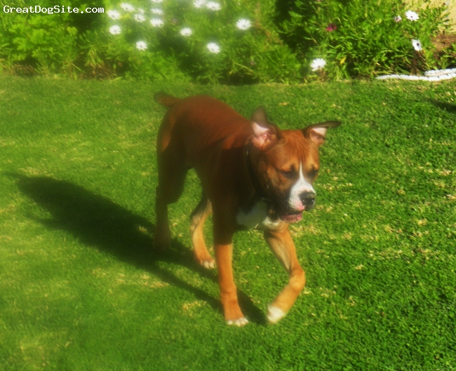 Banter Bulldogge, 8 months, fawn/black/white, cruising around the yard