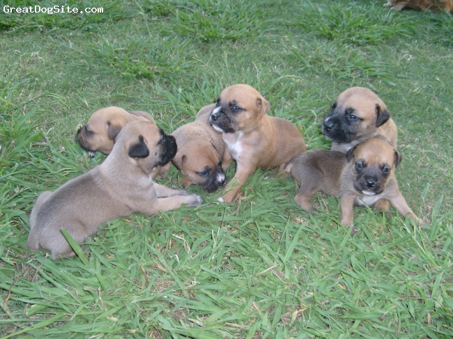 Banter Bulldogge, 6 weeks, Fawn, Here are all the fawn pups from our last litter!!
