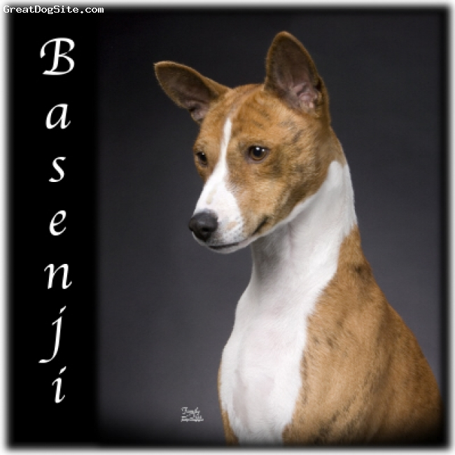 Basenji, Unknown, White and Cream, Basenji