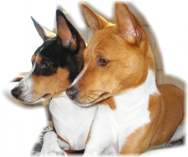 Basenji, 3 yrs, 2 yrs, tri, red&white, My two 'Replacement Children' being good