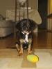 Basschshund, 6 Months, Black/Tan/White
