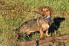 Basschshund, 6, Black and Tan