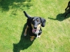 Basschshund, 2, black/tan/white