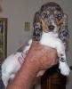Basschshund, 9 weeks, Blue Double Dapple