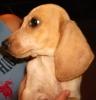 Basschshund, 3 months, Piebald