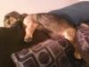 Basschshund, 10 months, Black and Brown