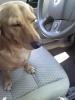 Basschshund, 2, red