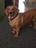 Basschshund, 4, Red/golden