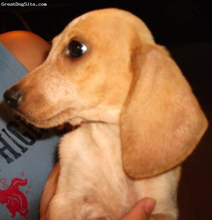 Basschshund, 3 months, Piebald, Mom Daschund, Dad Basset hound
