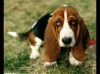 Basset Artesian Normand, 3, BLACK,BROWN AND WHITE