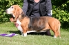 Basset Artesian Normand, 4 years, tricoulor