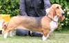 Basset Artesian Normand, 1½ year, Tricoulor