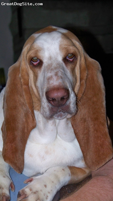 Basset Hound, 2 years, red and white, very large and loving dog
