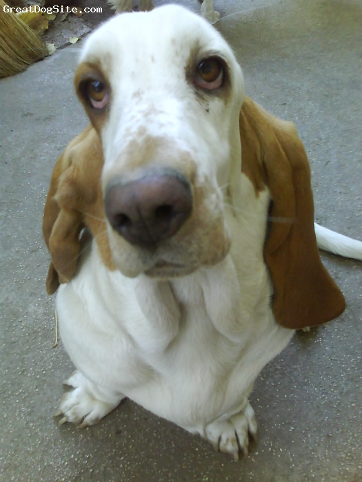 Basset Hound, 4, white and red-brown, A beautiful basset-girl from Roumania.