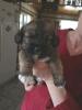 Bea-Tzu, 12 weeks, Brown