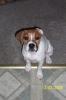 Beabull, 6 months, white / tan