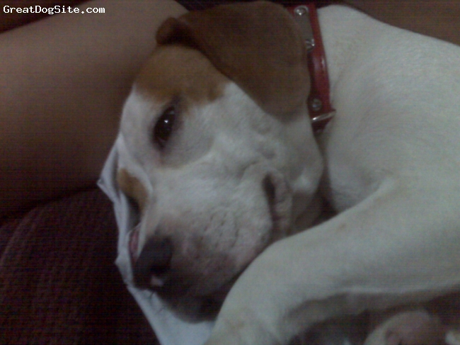 Beabull, 1, white with brown spots, full of energy, pretty, very sweet and loves tummy rubs