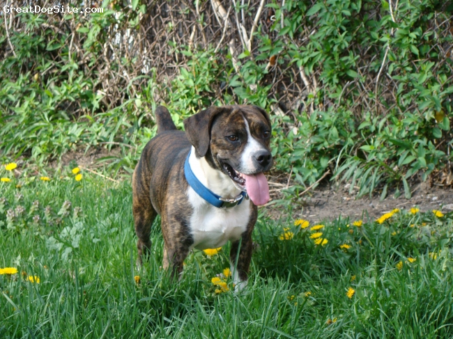 Beabull, 3, brindle, brutus is a one of a kind dog great breed of dog