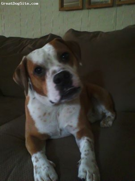 Beabull, 3, brown white, highly energetic, photogenic, friendly, playful, and a little stubborn