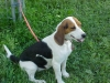 Beagle, 1 1/2 YRS OLD, BLACK/WHITE/TAN