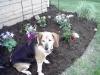 Beagle, 10, brown, black, white