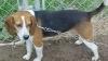 Beagle, 3 YRS, BLACK/WHITE/TAN
