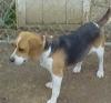 Beagle, 6 YR, BLACK/WHITE/TAN