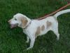 Beagle, 4 YRS, LEMON/WHITE