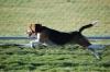 Beagle, 1y 6m, Tricolor