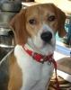 Beagle, 2 years, tri
