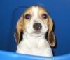 Beagle, 4 months, Tri