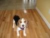 Beagle, 1, tricolor