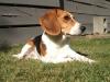 Beagle, 6.5, tricolor