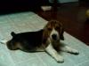 Beagle, 2 months, tricolor